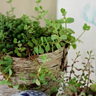 birchcoveredpotcraftberrybush