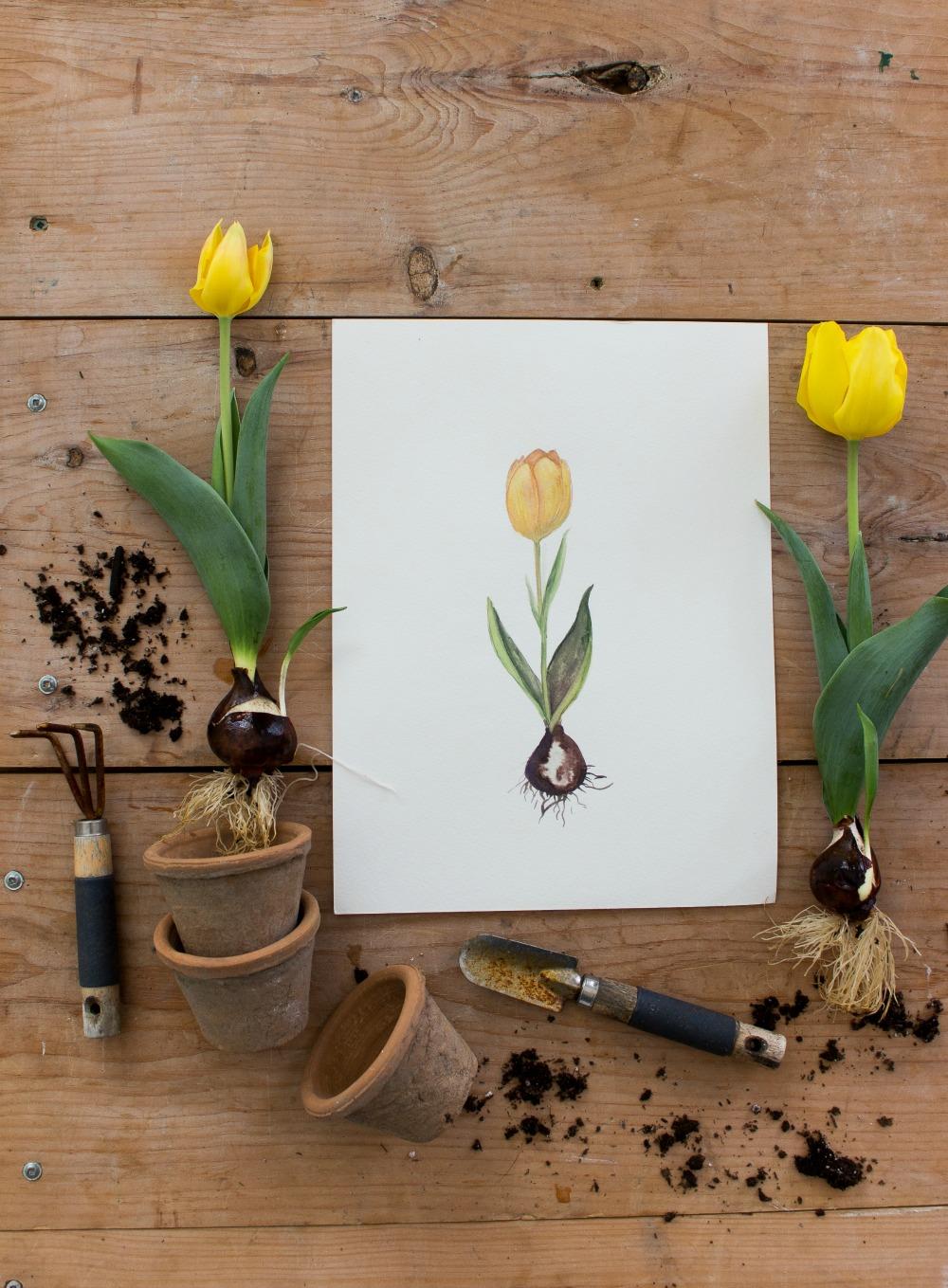 tulipwatercorlor